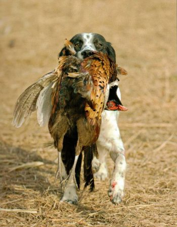 The Ringneck Ranch – Hunt Pheasant, Bobwhite Quail and Prairie Chicken with Dogs in Kansas